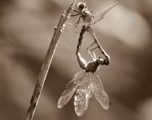 dragonflies-mating